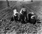 Farm laborers picking potatoes, 1940