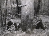 Henry Wood and Marvin W. Gibson using a two-man felling saw (crosscut), to cut a large yellow...