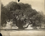 Lovers Oak, Prince Street, Brunswick, Georgia, 1930s?