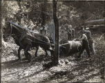 Mule-team pulling log out of forest, Georgia, 1939.