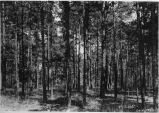 Pine forest, Watkinsville, georgia, July 28, 1943.
