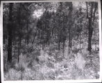 Cultivated pine forest, Georgia, 1959?