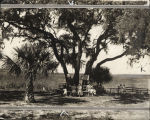 Lanier Oak, at Brunswick, Georgia, before 1939. Oak surrounded by wooden bench, palms on either...