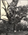 """Tree that owns itself,"" Athens, Georgia. Larger photo from 1936, smaller photo from..."