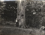 Presbyterian Poplar, Washington, Georgia, 1920s?