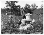 African Americans picking cotton on the Roosevelt farm, Warm Springs, Georgia, circa 1930s.