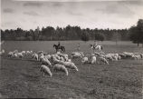 Sheep ranch in southwest Georgia, 1930s?