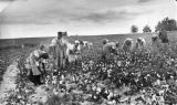 Sharecroppers picking cotton, Luella, Georgia, November 1, 1939.