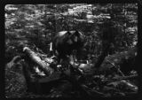 Black bear hunting in the woods, Great Smoky Mountains National Park, September 1941