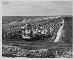 Workers and an irrigation machine in celery fields