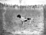Hunting dog pointing at game, 1926.