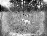 Hunting dogs, 1926.